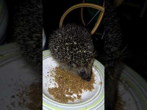 Feeding a wild hedgehog in my garden
