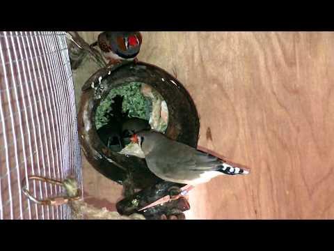 New Outdoor Bird Breeding Cage/Setup And Breeding Pairs