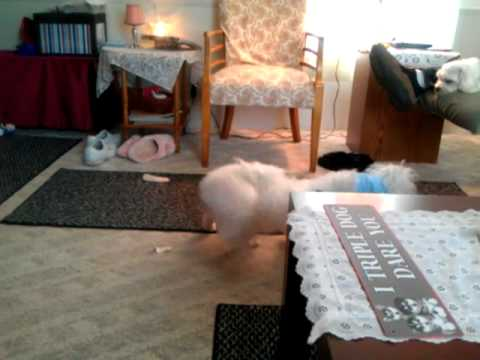 Maltese dogs play fighting