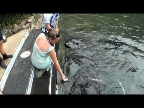Stingray Feeding Frenzy!!  Daydream Island, Whitsunday's!!