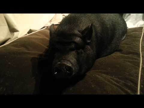 Queenie the pot belly pig.