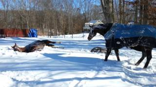 Horses first time in snow after 2 day blizzard