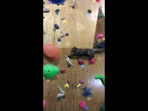 Cat climbing a rock wall