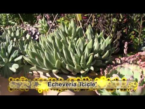 Tender Succulents: Part 2