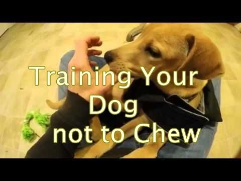 Training Your Dog not to Chew