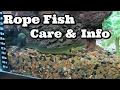Reedfish  Care & Info Ropefish