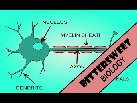 Action Potential Explained - The Neuron