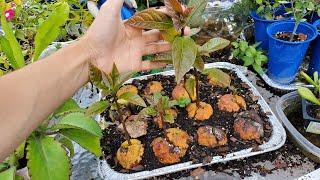 Como germinar semillas de aguacate y plantas enanas!