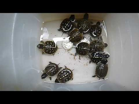 Feeding Baby Box Turtles