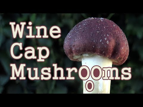 How To Grow Wine Cap Edible Organic Mushrooms: Wood Chips & Straw -Identify, Cultivate, Preserve