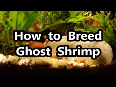 How to Breed Ghost Shrimp