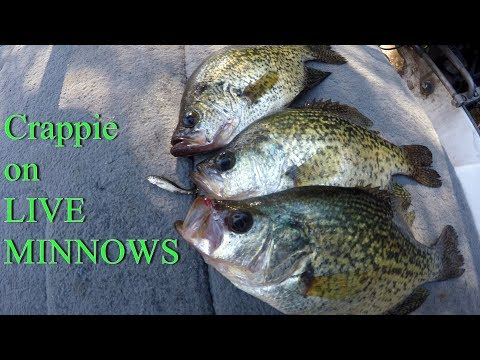 Catching Crappie on LIVE minnows   How to fish with LIVE minnows for Crappie
