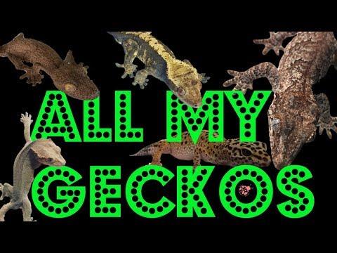 ALL MY GECKOS (LEOPARD, CRESTEDS, GARGOYLE, LEAF TAIL GECKOS AND MORE!!