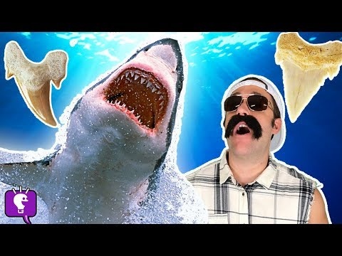REAL SHARK TOOTH! HobbyGrit Cuts Open Teeth in HobbyScience Lab with HobbyKidsTV