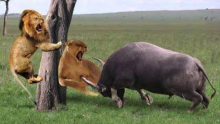 OMG! Buffalos Bravely Take Down Herd Lion To Rescue His Teammates - Lion Vs Buffalo, Hippo