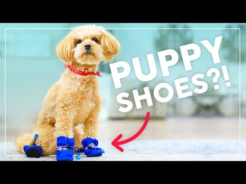 Puppies WEAR SHOES for the First Time!! | Behind the Braids Ep.59