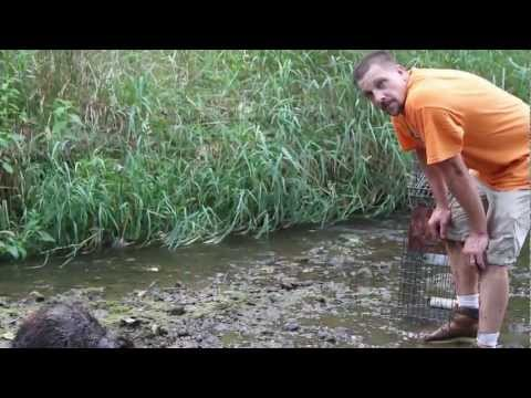 Attack of the 80lb Beaver - Crazy Beaver Action! - by Suburban Wildlife Control