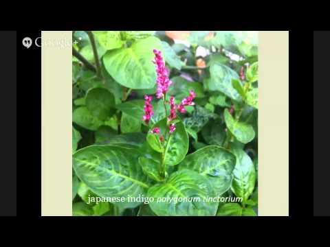 Natural Dyes: Urban Gardens Growing Plants for Pigment - CSDS Crash Course 2015