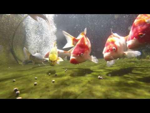Koi pond feeding underwater