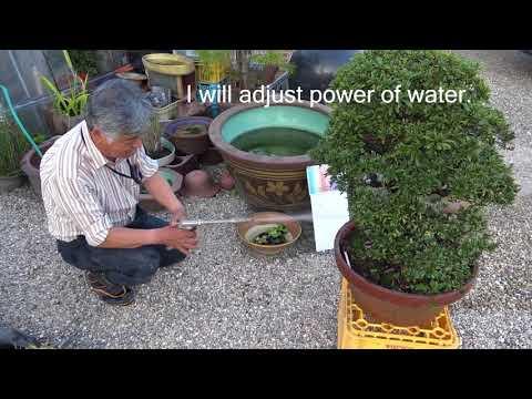 Bonsai master get rid of moss because moss take away nutrition from Bonsai tree.