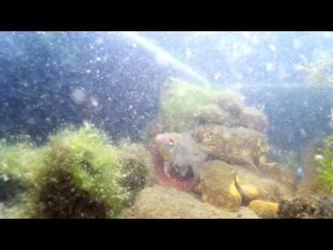 cichlids on a pond of guppies...