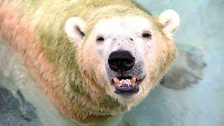 First polar bear born in the tropics is put down