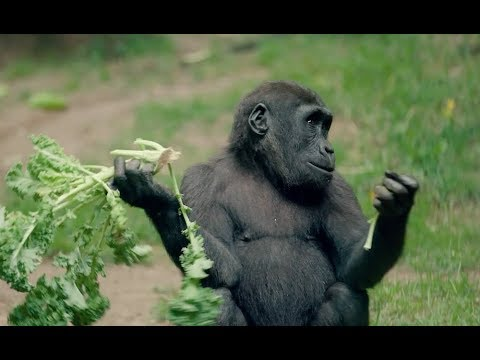 THE LION KING Visits the Bronx Zoo: Congo Gorilla Forest