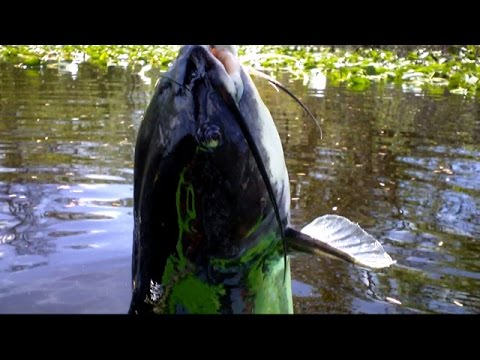 Big Catfishing Small Rivers with Planer Bobbers live shiners and shad