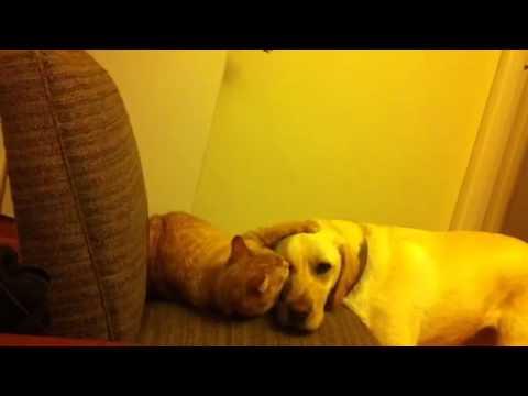Three legged cat cleans his labrador's ears