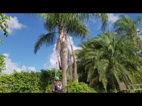 How to trim a queen palm tree