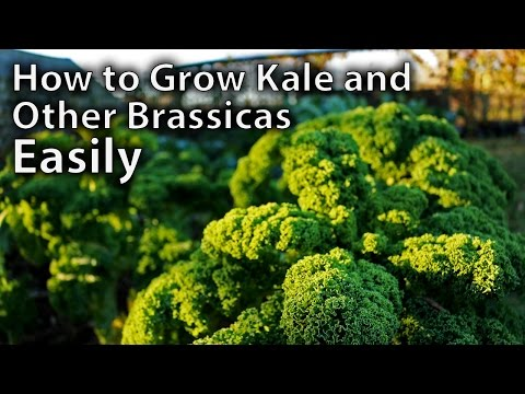 How to Grow Kale and Other Brassicas from Seed - Easy Guide