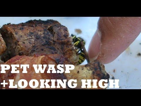 PET WASP + LOOKING HIGH