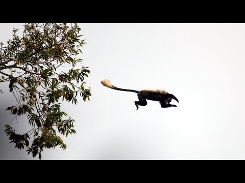 Overeager Young Chimpanzee's first Monkey Hunt | BBC Earth