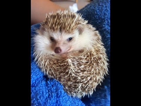 How to look after an african pygmy hedgehog