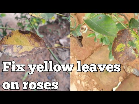 Rose leaves turning yellow and falling off