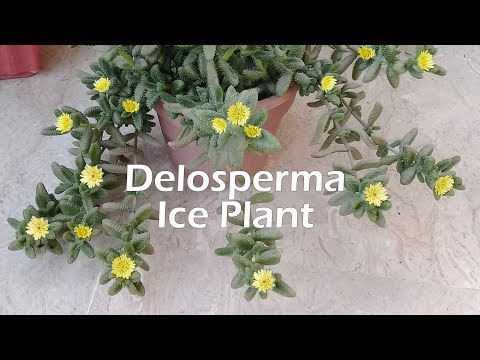 How to Grow and Care for Delosperma Echinatum | Pickle Plant | Ice Plant | Succulent Propagation