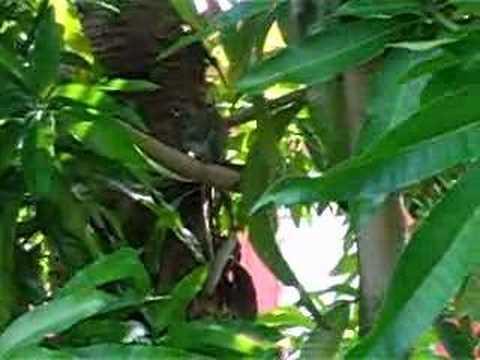 Squirrel in Mango Tree