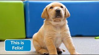 Sponsor a Puppy - Felix