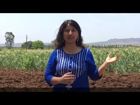 Zunka, Bhakri and Thecha Recipe - Cooking in my Village Farm | चूल्हे पर बनाएं झुनका-भाकरी और ठेचा