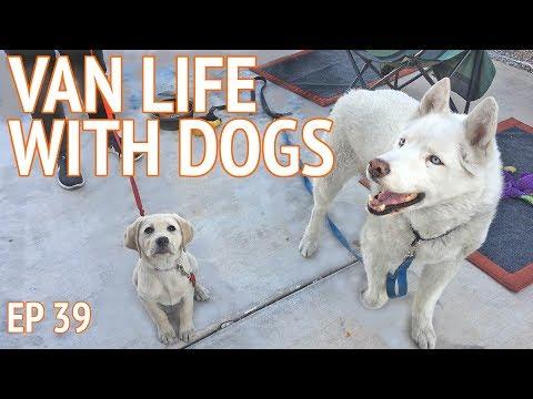 VAN LIFE W/ DOGS - Leo the Siberian Husky & Charlie the Labrador Retriever