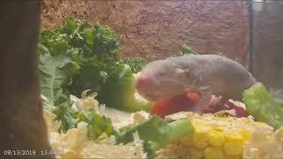 Naked Mole-rat Cam Highlights