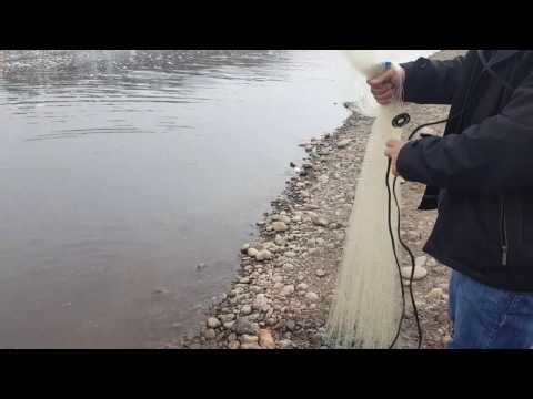 Cast net for gizzard shad 2017