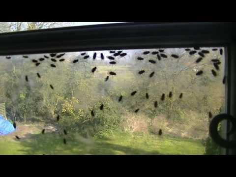 Cluster Flys - East Anglian Pest Control
