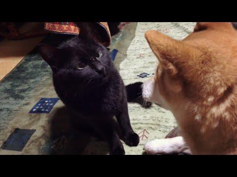 顔が濡れてることをさりげなくアピールする猫 Dog licking cat clean