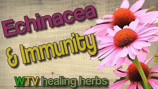 Echinacea plant| Echinacea Benefits. A traditional immune system modulator.