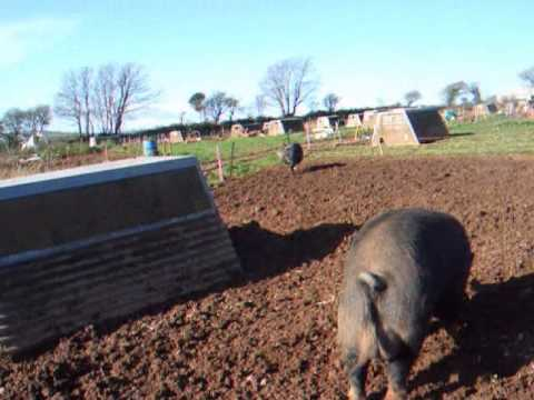 Berkshire Sow Pig Electric fence training method at 20 months of age