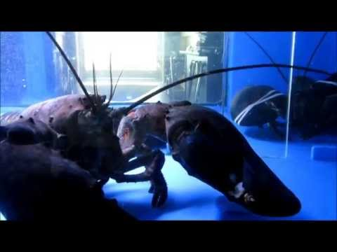 Giant 20lb Pet lobsters