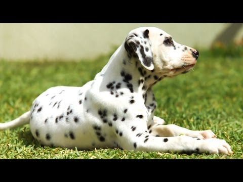 Dalmatian Puppies For Sale at PetsYouLike