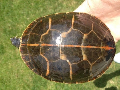 Southern Painted Turtles: General Care