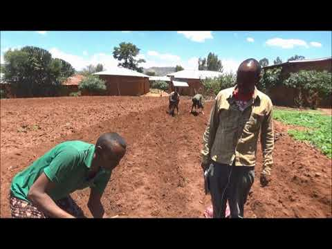 Maize  Row Planting Technology_Haromaya